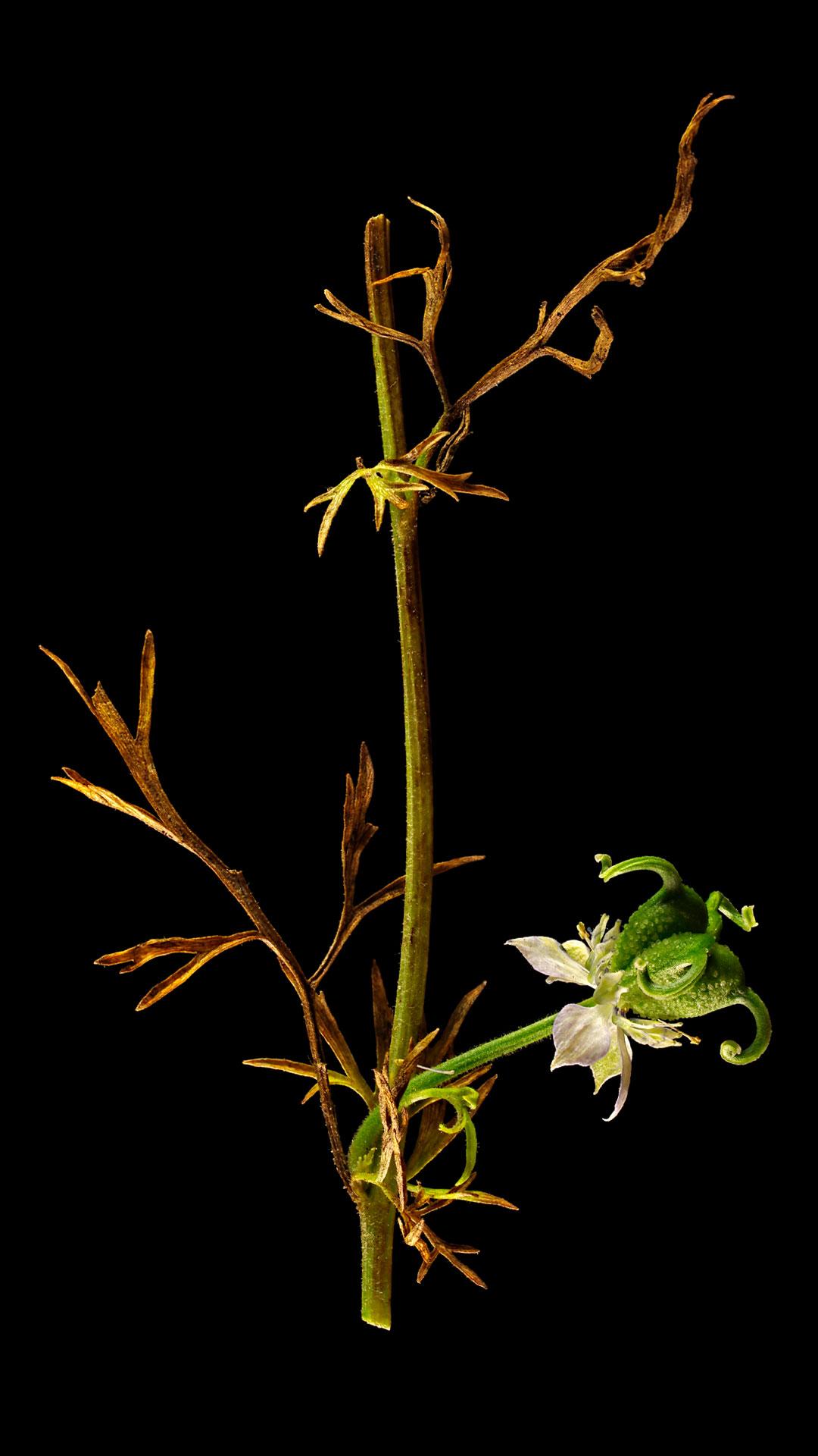 der echte schwarzk mmel nigella sativa flora obscura. Black Bedroom Furniture Sets. Home Design Ideas