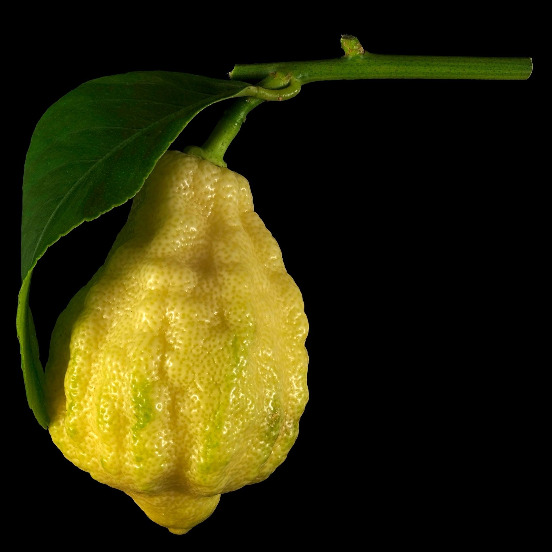die gefurchte zitrone citrus limon canaliculata flora obscura. Black Bedroom Furniture Sets. Home Design Ideas