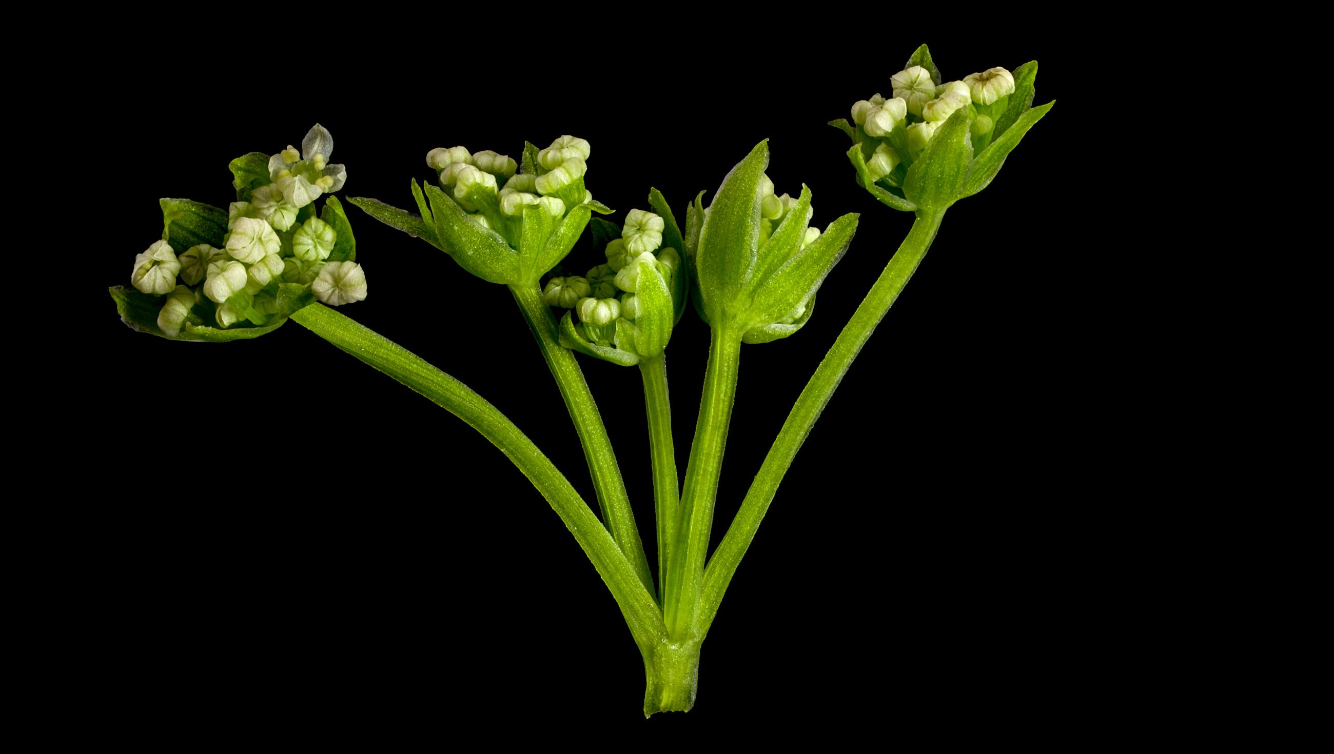 der knotenbl tige scheiberich helosciadium nodiflorum flora obscura. Black Bedroom Furniture Sets. Home Design Ideas