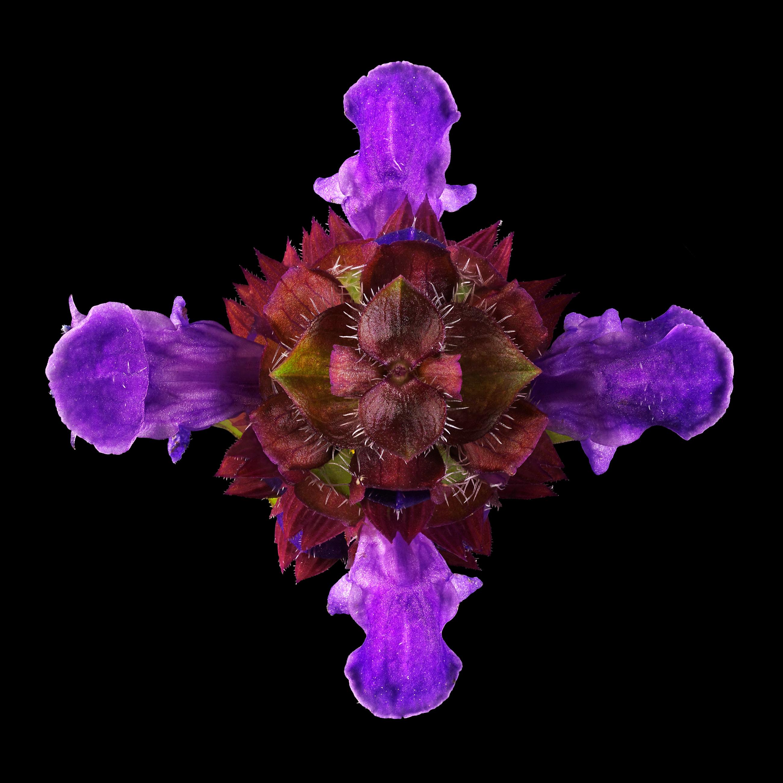 Common self-heal: Prunella vulgaris | Flora obscura